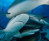 Reef sharks swimming underwater - Stock Image - D37M7P