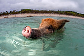 A wild pig swims up to a boat full of tourists at Staniel Cay in the Bahamas. - Stock Image - CWX4TW
