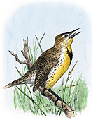 Western meadowlark singing. - Stock Image - DCJBCE