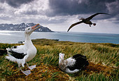 Wandering albatrosses, Diomedea exulans, South Georgia Island - Stock Image - BF8WNF