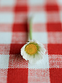 daisy - Stock Image - CYCNE6