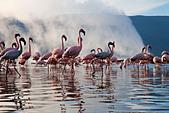 Lesser Flamingo (Phoenicopterus minor ) at Lake Bogoria's geyser and hot springs.Kenya - Stock Image - C4XEM7