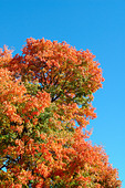 Vibrantly Colored Autumn Leaves with Copy Space - Stock Image - AJXMWR
