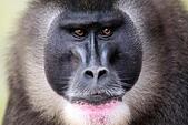 Labem, Czech Republic. 10th July, 2015. A troop of seven rare Drill monkey breed Dvur Kralove nad Labem zoo, Czech Republic, July 10, 2015. (CTK Photo/David Tanecek) © CTK/Alamy Live News - Stock Image - EXAK4P