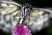 Tree Nymph ButterflyIdea leuconoe Asia - Stock Image - BYX7BY