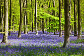 Dappled sunshine falls through fresh green foliage in a beechwood of bluebells in England, UK - Stock Image - CPEC5Y