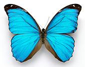 Morpho menelaus Cramer's blue butterfly - Stock Image - A40TAT
