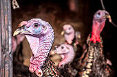 9th November 2014. Ardara County Donegal Ireland. Turkeys on a farm almost ready for sale for Christmas dinners. Photo by: Richard Wayman - Stock Image - EA8T22