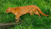 Jaguarundi Herpailurus yaguarundi Central and Tropical South America Captive Red colour phase - Stock Image - AD0BND