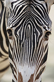 Zebra head closeup - Stock Image - AHBHBB