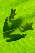 Silhouette of Wallace's Flying Frog on palm leaf. Danum Valley, Sabah, Borneo. - Stock Image - BMKKR0