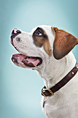 Portrait of St Bernard puppy in studio - Stock Image - D7JYDH