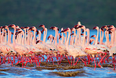 Lesser Flamingo (Phoenicopterus minor) at Lake Bogoria.Kenya - Stock Image - C4XCN7