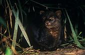 Jaguarundi {Felis yagouaroundi} in rainforest, Amazonia, Ecuador - Stock Image - E4577C