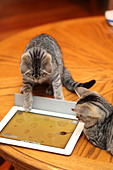 Tabby kittens  play with iPad. MoMo and Mini . - Stock Image - CWXC53