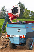 pinot noir harvesting with hod beaune cote de beaune burgundy france - Stock Image - C0TDHH