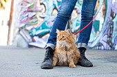 A small longhaired orange cat on a harness and leash sitting between his owner's feet in an urban neighborhood of Los Angeles. - Stock Image - C49DXH
