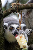 A ring tailed lemur cools off with a fruit filled ice lolly at the Cotswold Wildlife Park - Stock Image - EWTNJC