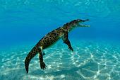 Saltwater crocodile - Stock Image - B8C6C6