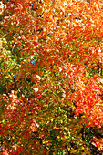Vibrantly Colored Autumn Leaves - Stock Image - AJXMXG