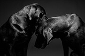 A portrait of two black labs against a black background. - Stock Image - C12H09