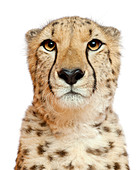 Close-up of Cheetah, Acinonyx jubatus, 18 months old, in front of white background - Stock Image - C4NAGW