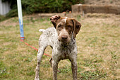 young French pointer looking angry - Stock Image - B4BXBD