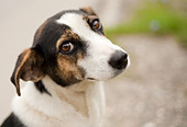 Portrait of an adorable little dog outdoor - Stock Image - BHGJH7
