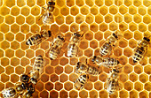 Overhead view of honeybees on a comb - Stock Image - B8DY63