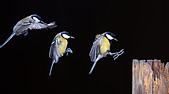 Great Tit (Parus major) in landing approach, triple exposure - Stock Image - CWYPB4