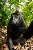 CRESTED BLACK MACAQUE Macaca nigra - Stock Image - AF1WRH