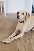 Dog laying on wooden floor - Stock Image - CWW22N
