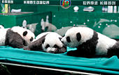 Guangzhou, Guangdong, China. 5th November, 2014. The world's only triplets baby pandas grow up healthily in Guangzhou, Guangdong, China on 05th November, 2014. © Top Photo Corporation/Alamy Live News - Stock Image - EA334E