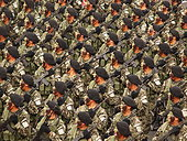 Lima, Perú. July 29th, 2015. PERU, Lima: Peruvian commandos from the 1997 hostage rescue mission, Chavin de Huantar, march in the Great Military Parade of Peru on Brasil Avenue in Lima, Peru on July 29, 2015, marking the 194th anniversary of Peru's declaration of independence from Spain ©CARLOS GARCIA GRANTHON/NEWZULU/Alamy Live News - Stock Image - EYH82W
