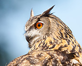Close-up of a Eurasian Eagle- owl (Bubo bubo) showing head turned through 180 degrees against a blue sky and cloud background - Stock Image - DAFTDE