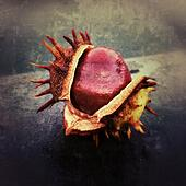 Horse chestnut splitting open as it ripens giving it an autumnal look - Stock Image - S06HKW