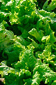 Romaine Lettuce Growing in a Garden - Stock Image - AJWR1K