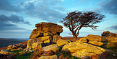 Autumn evening light on hawthorn and granite outcrop, near Saddle Tor, Dartmoor National Park, Devon, England, UK - Stock Image - C26FRD
