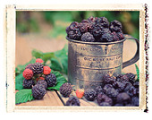 Tin cup full of fresh picked black raspberries in berry field polaroid transfer image - Stock Image - A76705
