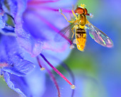 Hoverfly perched on a flower collecting pollen. - Stock Image - D9T1TT