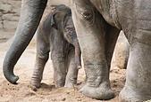 Hagenbecks Animal Park, Hamburg, Germany. 13th July, 2015. A still nameless female baby elephant walks through its cage in Hagenbecks Animal Park, Hamburg, Germany, 13 July 2015. The calf was born yesterday. Photo: DANIEL BOCKWOLDT/dpa/Alamy Live News - Stock Image - EXER23