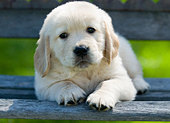 Golden Retriever Puppy - Stock Image - BE7JJB