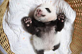 Ya'an, China. 21st August, 2015. 7days-2 months Baby pandas are shown to audience in Panda research center in Ya'an , Sichuan province, sothwest China on 21 August 2015. 17 baby pandas were born in the center this year. © CPRESS PHOTO LIMITED/Alamy Live News - Stock Image - F0WGD8