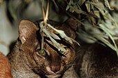 Wieselkatze, Jaguarundi (Felis yagouaroundi, Herpailurus yagouaroundi), Portraet, Widkatzenart aus Mittel- und Suedamerika | jaguarundi (Felis yagouaroundi, Herpailurus yagouaroundi), portrait - Stock Image - ETP3H3