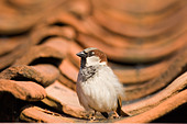 House Sparrow Passer domesticus on tiled roof Norfolk spring - Stock Image - B32YFC