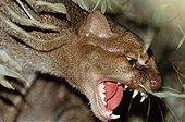 Wieselkatze, Jaguarundi (Felis yagouaroundi, Herpailurus yagouaroundi), fauchend, Widkatzenart aus Mittel- und Suedamerika | jaguarundi (Felis yagouaroundi, Herpailurus yagouaroundi), growling - Stock Image - ETP3H2