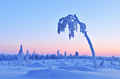 Snow Covered Tree at Dusk, Nissi, Northern Ostrobothnia, Finland - Stock Image - CNNEXJ