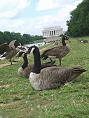 Many Geese on the National Mall by The Reflecting Pool in Washington DC USA The Lincoln Memorial is in the Background Copy Space - Stock Image - AT671M