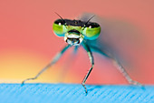 Close-up of dragonfly with mouth open - Stock Image - CFAT71
