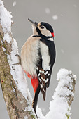 Great Spotted Woodpecker - male at branch / Dendrocopos major - Stock Image - C4G4T0